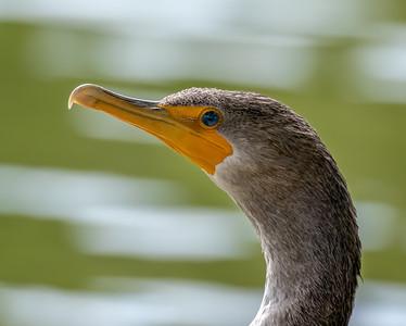 Juvenile Double crested Cormorant Portrait