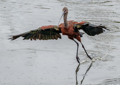 White Faced Ibis Landing
