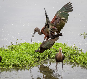 White FAced Ibis Squabble