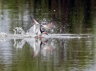 Black Skimmer making a splash