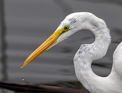 Great Egret All Wet