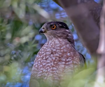 Adult Cooper's Hawk Portrait
