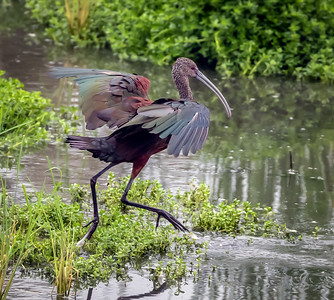 White Faced Ibis Running