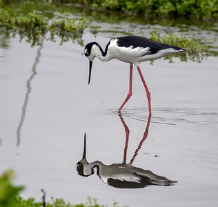 Black necked Stilt Reflection