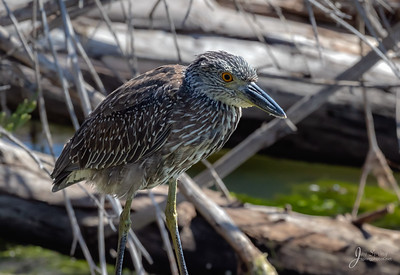 Juvenile Yellow crowned Night Heron Posing
