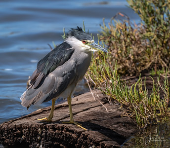 Adult Black crowned Night heron Posing