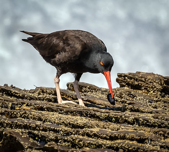 Black Oystercatcher with Mussell