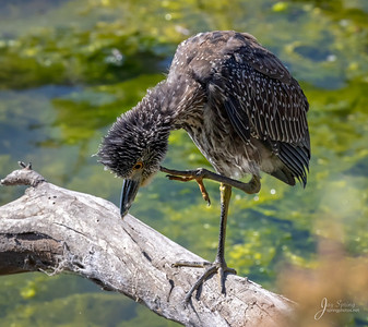 Juvenile Yellow crowned Night Heron Scratching