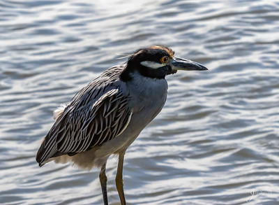 Yellow crowned Night Heron Sub Adult