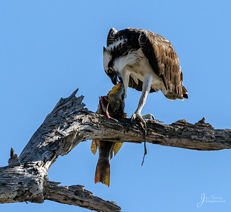 Osprey with large fish