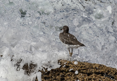 Surfbird in Wave