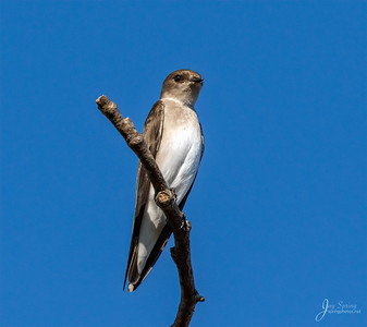 Northern Roughwinged Swallow