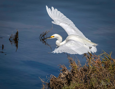Snowy Egret Taking Off