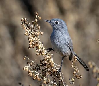 Blue-grey Gnatcher