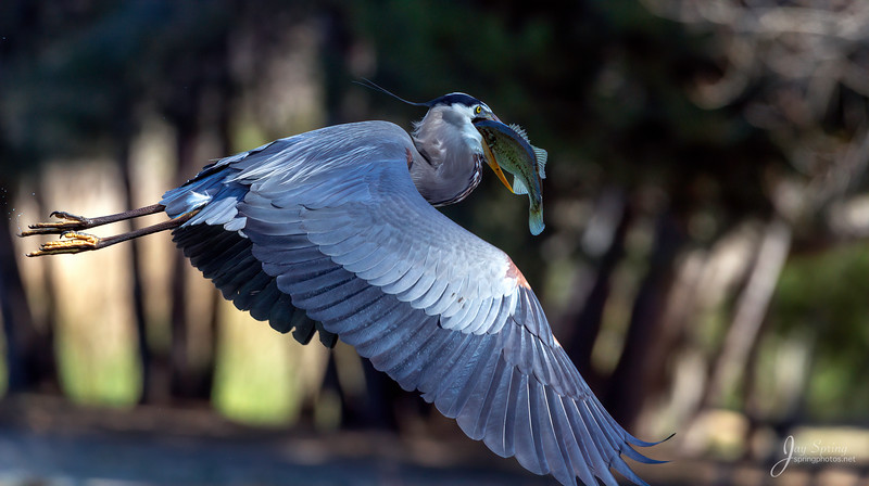 Great blue Heron With Bass
