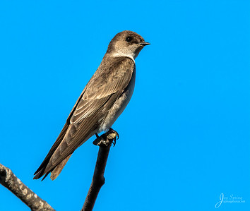 Northern roughwing Swallow