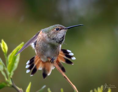 Allen's  Hummingbird Stretching
