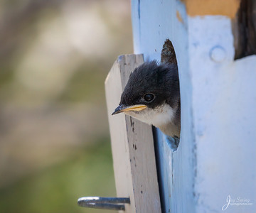 Tree Swallow Chick