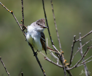 Ash throated Flycatcher