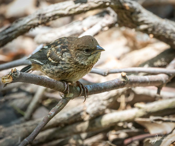 Spotted Towhee Fledgeling