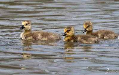 Canada Goose. Goslings