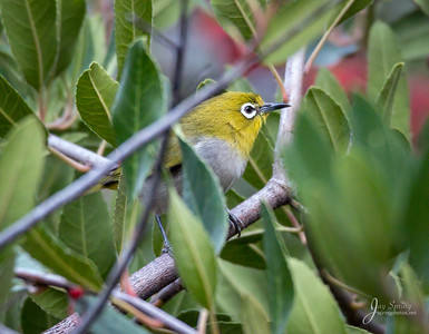 Swinhoe's White-eyes