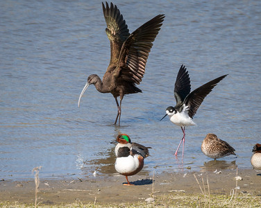 White faced Ibis and Black necked Stilt