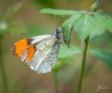 Sara Orangetip Butterfly