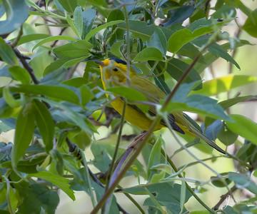Wilsons Warbler