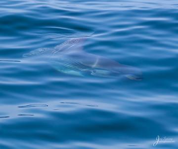 Mola Mola Sun Fish