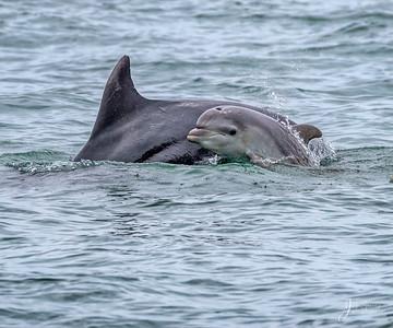 Bottllenose Dolphin