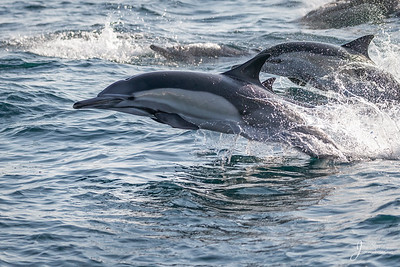 Common Dolphin Long beaked