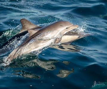 Common Dolphin Short beaked Baby