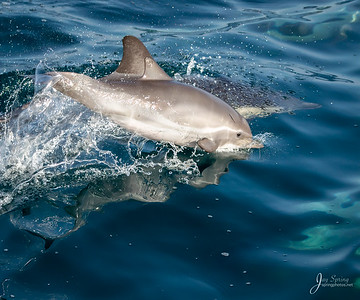 Common Dolphin Short beaked