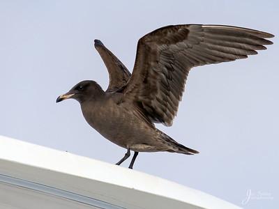 Herrmanns Gull
