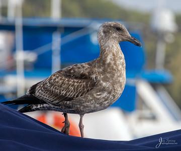 First Winter Western Gull