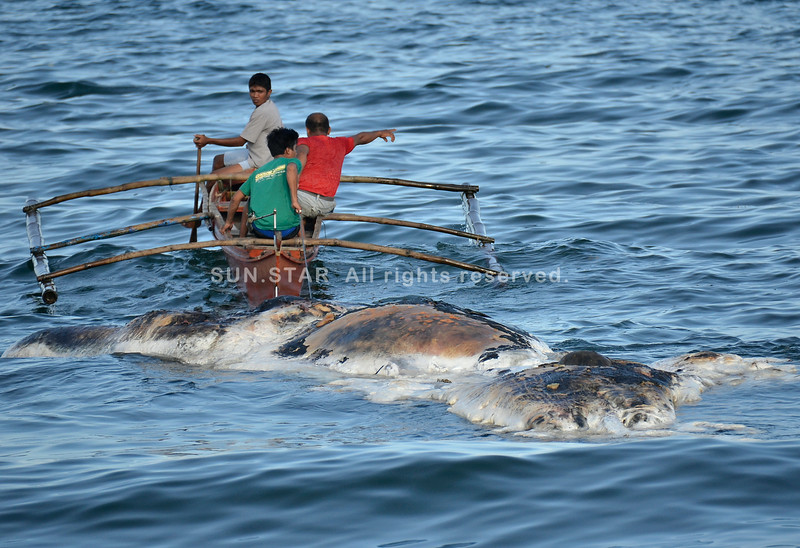 Carcass of sperm whale floating in Davao