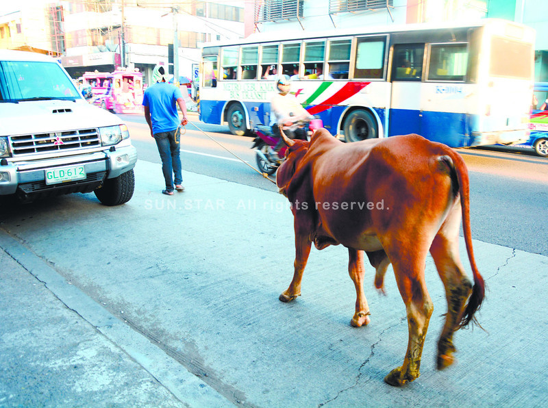 HOLY COW. Causing traffic on a busy Cebu City street such as P. del Rosario could be the last thing on the mind of this cow, which is being led by his master to a slaughterhouse in Barangay Lorega-San Miguel. (Alex Badayos photo/Sun.Star Cebu)