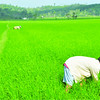 Rice patching