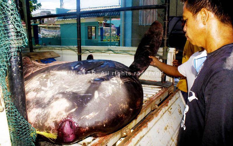 Ocean sunfish found in Cagayan de Oro Ciy
