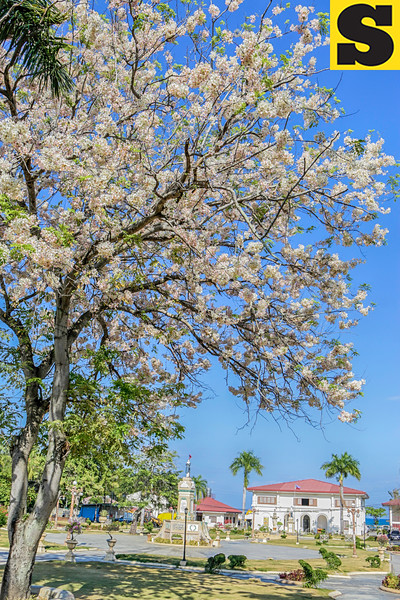 Sibonga, Cebu cherry blossoms