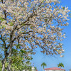 Sibonga, Cebu cherry blossoms