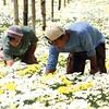 Flower farmers