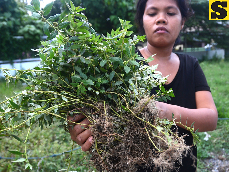 Mangagaw or Tawa-Tawa plant