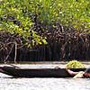 Fisherman harvests seaweed near mangroves