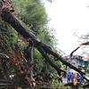 Typhoon Lawin topples tree