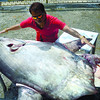 UNUSUAL FISH. Talisay City Councilor Danny Caballero tries to measure the sharp-tailed ocean sunfish that lifeguards found floating near a seawall in Barangay Poblacion. The Bureau of Fisheries and Aquatic Resources took samples from the fish's internal organs for laboratory tests. (Photo by Alan Tangcawan of Sun.Star Superbalita Cebu)