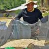 Farmer gathering palay