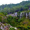 Sagada pine trees