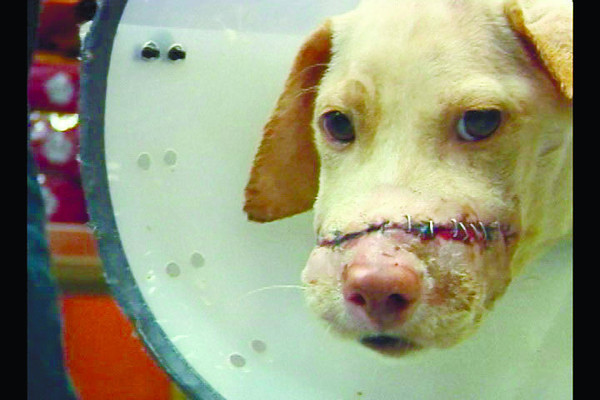 KENNETH. Doctors successfully reconstruct the face of Kenneth, the dog who was hacked by a still unidentified person last September. Kenneth's story made its way to the Internet, attracting the attention of dog lovers, which led to the reconstructive surgery. (Sun.Star Photo/Jinky Bargio)